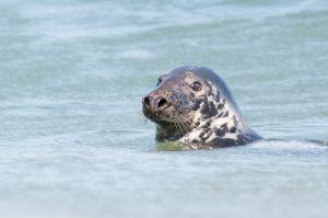 Gray Seal, Chatham, MA