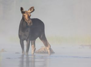 Yearling Bull Moose, West Branch Pond, Greenville, ME
