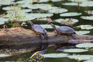 Painted Turtles, Bauer Park, Madison, CT