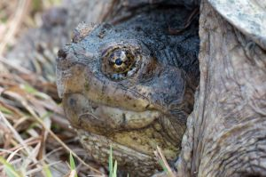 Snapping Turtle, East River Preserve, Guilford, CT
