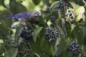 Eastern Bluebird, Bauer Park, Madison, CT