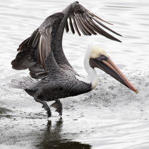 Brown Pelican, Ulumay Wildlife Preserve, FL