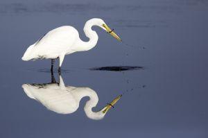 Great Egret, Hammonasset State Park, Madison, CT