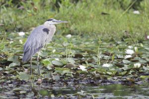 Great Blue Heron, Lake Quonnipaug, Guilford, CT