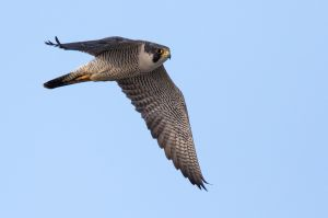 Peregrine Falcon, Hammonasset State Park, Madison, CT