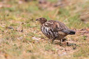Ruffed Grouse, Lily Bay State Park, Greenville, ME