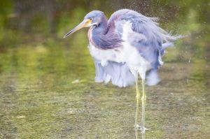Tricolor Heron, Ulumay Wildlife Preserve, FL