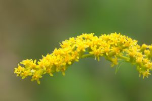Canada Goldenrod, Bauer Park, Madison, CT