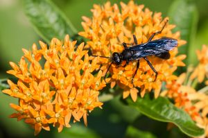 Great Black Wasp and Orange Milkweed, Madison, CT