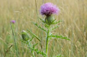 Praying Mantis and Bull Thistle, East River Preserve, Guilford, CT