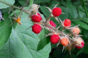 Thimbleberries, East River Preserve, Guilford, CT